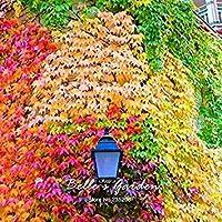 1:30pcsMultiple色庭種子Parthenocissus種子盆栽カラフルな種子美しい観葉シード01