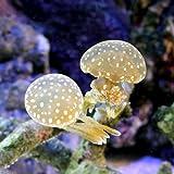 (海水魚 クラゲ)タコクラゲ Mサイズ(1匹) 本州・四国限定[生体]