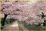 ポスター 桜/哲学の道+アルミフレーム(ゴールド) セット TX-1832G