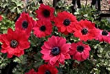 【山野草】アネモネ・パボニナ赤花系