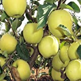 Golden Delicious apple tree 10 seeds by Tropical Oasis