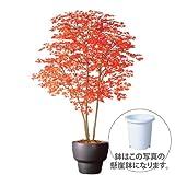 エフプランター 人工観葉植物-ヤマモミジ株立 RED-200-10号鉢-懸崖鉢