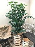 コーヒー樽付 コーヒーの木10号鉢