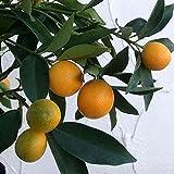 キンカン:福寿4.5号ポット[観賞用の大実金柑 柑橘・かんきつ類苗木] ノーブランド品