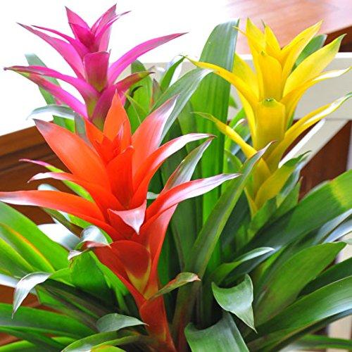 観葉植物 グズマニア 3色ミックス鉢植え 7号鉢植え 色鮮やかな植物 花 ギフト お誕生日プレゼントに