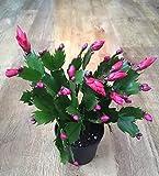 種子:Christmas'Red」シャコバサボテン|ジューシーなエバーグリーン観葉植物9cmのポット