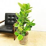 フィカス アルテシーマ アルテシマ ゴムの木 ナチュラル鉢カバー付 観葉植物 インテリア 中型 大型