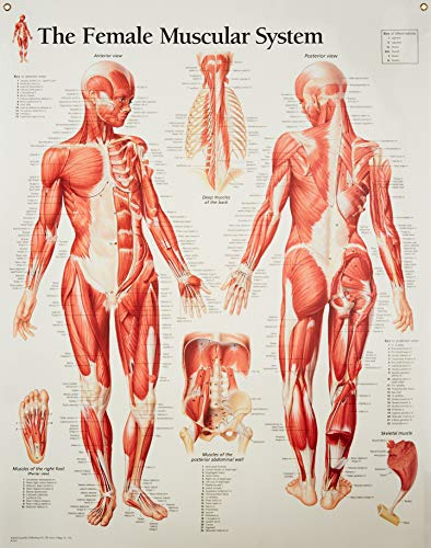 Download Female Muscular System, Laminated Chart 193063305X