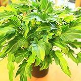 観葉植物:クッカバラ ライム