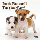 Jack Russell Terrier Puppies 2019 Calendar