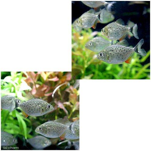 (熱帯魚)ピラニア・ナッテレリー Sサイズ(ブリード)(1匹) 本州・四国限定[生体]