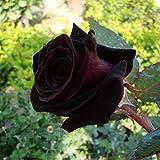 Jinbs バラ種 ブラック 黒い 黒薔薇 50pcs 100pcs 150pcs