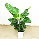 オーガスタ 観葉植物 ホワイトスクエアポット インテリア 大型 大 ストレチアオーガスタ