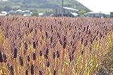 国内産 もち麦 1kg : 讃岐もち麦 ダイシモチ