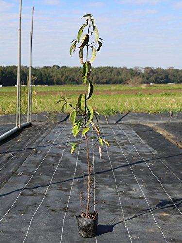 【1年間枯れ保証】【春に花が咲く木】常緑ヤマボウシ 0.5m10.5cmポット