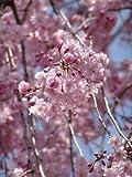 八重紅しだれ桜 しだれ桜苗