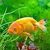 (国産金魚)らんちゅう(ランチュウ) 深見養魚場産 Mサイズ(1匹) 本州・四国限定[生体]