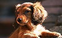 ダックスフント、犬、子犬、日 キャンバスの 写真 ポスター 印刷 動物 (75cmx50cm)