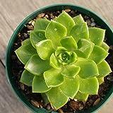 レティジア 7.5cmポット セデベリア Sedeveria 'Letizia' 福岡県産 多肉植物 多肉 観葉植物 インテリアグリーン 寄せ植えに