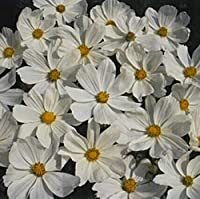 Cosmos Sonata Series White Annual Seeds
