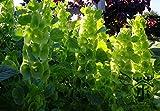 シェルフラワーMoluccellaツメガエルの種子200脚、急成長モルッカBalmis花の種子、アイルランド種子の年次カイガラサルビアの鐘