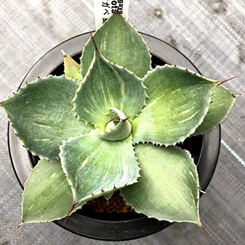 鮮明黄中斑 多肉植物 caアガベ 王妃雷神錦 9cmポット アガベ