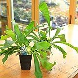 観葉植物:コウモリラン(ビカクシダ)*ビフルカツム