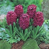 100個/袋Hyacinthus Orientalis植物多年生レアヒヤシンスポット付き盆栽バルコニーフラワーフロアDIYホームガーデン:g1
