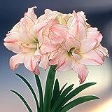 アマリリス八重咲き:アフロダイト(アフロディーテ)1球[春植え球根・豪華な花姿が楽しめる!]