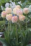 ★【天使の八重咲き】春を彩る「チューリップ・クリーム・アップスター」5球【秋植え球根】【オランダからの花便り】