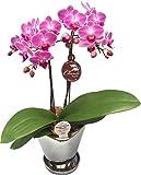 ピンク系ミディー胡蝶蘭【チュンリー】シルバー鉢入り 『4号鉢・2本立ち』 生産者より日本全国へ胡蝶蘭をお届けいたします。