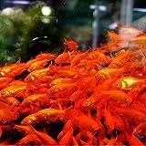 【生体】金魚  小赤 餌金 50匹 エサ用金魚 エサ用 観賞用