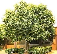 50アメリカのYellowwood木の種、Cladrastis黄体
