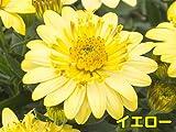 分枝促進・切り戻し処理済み! ダブル咲で豪華、しかもちょっと変わった花色も特徴の新しいオステオスペルマム ダブルファンシリーズ 【イエロー】 1株9cmポット苗