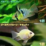 (熱帯魚)バルーン・ラミレジィ+ゴールデンバルーン・ラミレジィ(各種1匹) 本州・四国限定[生体]