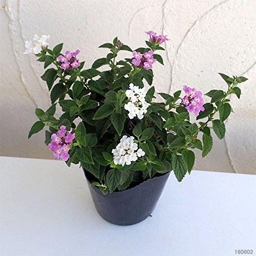 コバノランタナ2色植え(ラベンダーピンクとホワイト)3.5号ポット 3株セット ノーブランド品