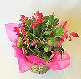 【季節の鉢花】デンマークカクタス(5号鉢)・バスケット付