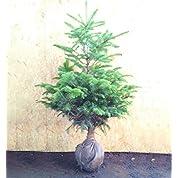 クリスマスツリーに ウラジロモミ(もみの木) 樹高1.0m前後