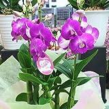蘭の花 デンファレ鉢植え 3本立て ピンク系 誕生日、お祝い 花ギフトにおすすめ
