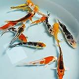 お任せ!錦鯉Mix3匹 S 10cm~13cm前後 コイ 鯉 色鯉