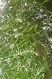 【特価】 無農薬アナカリス 1本【増殖用・エサ用】20cm前後(剪定後草体・成長点規格外)【生体】