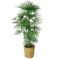 観葉植物 棕櫚竹(シュロチク) 10号 【鉢カバー付】