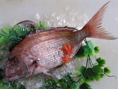 瀬戸内の天然活け鯛 1kg