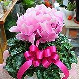 季節の鉢植え シクラメン やさしいピンク色の花 誕生日プレゼントやお歳暮に贈る鉢花ギフト