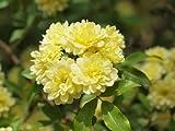 【バラ苗】 モッコウバラ(黄花) 樹高20cm 黄色の花が咲くつる性バラ♪