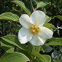 ナツツバキ(夏椿 シャラ):白花株立ち(寄せ株)樹高1.5m根巻き