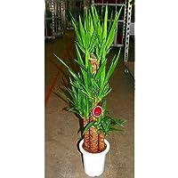 プランツネット(Plants Net) 観葉植物 ユッカ(青年の樹) 8号 K0106845