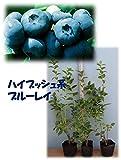 ブルーレイ[寒冷地向けハイブッシュ系ブルーベリー苗木] 直径13.5cmポット樹高約0.5m  3年生挿し木苗