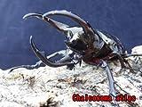 大人気!アトラスオオカブトムシ ♂70.0㎜~ 成虫 ペア 届いてそのまま管理可能なセパレーター付き飼育ケース入り!