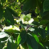 常緑ヤマボウシ:新月(しんげつ)3.5号ポット[花と葉がともに大きく存在感は抜群!]
